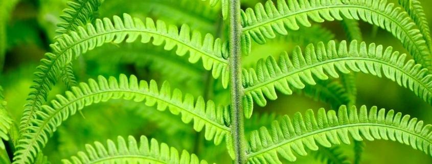 pennatosetta foglie