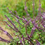 Salvia in fiore in natura