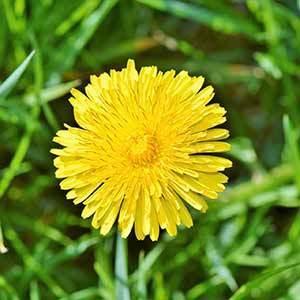 Tarassaco, i fiorellini gialli dalle proprietà inaspettate